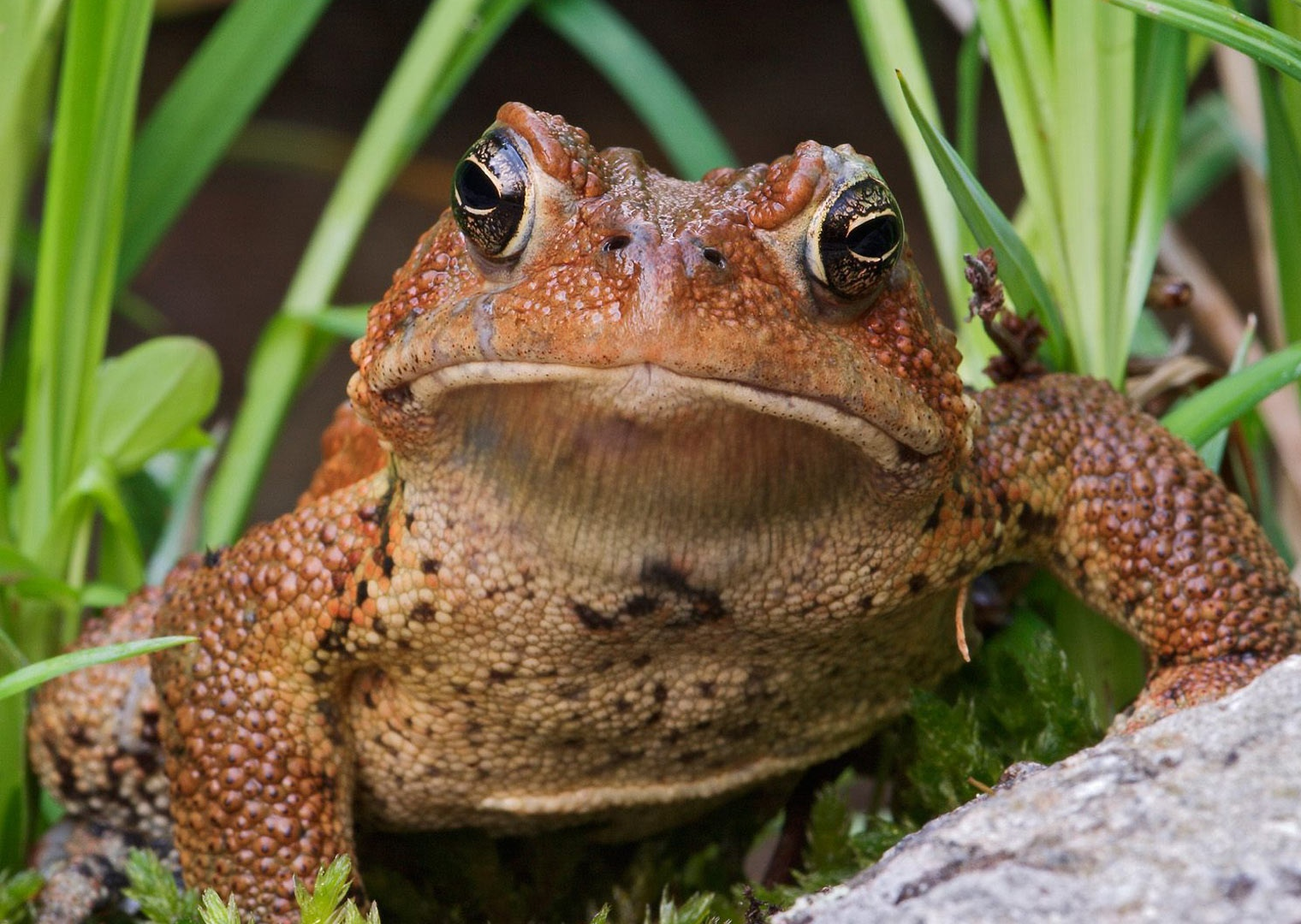 ... Gallery · Animals · American Toad - Bufo | Free Background 1600x1200