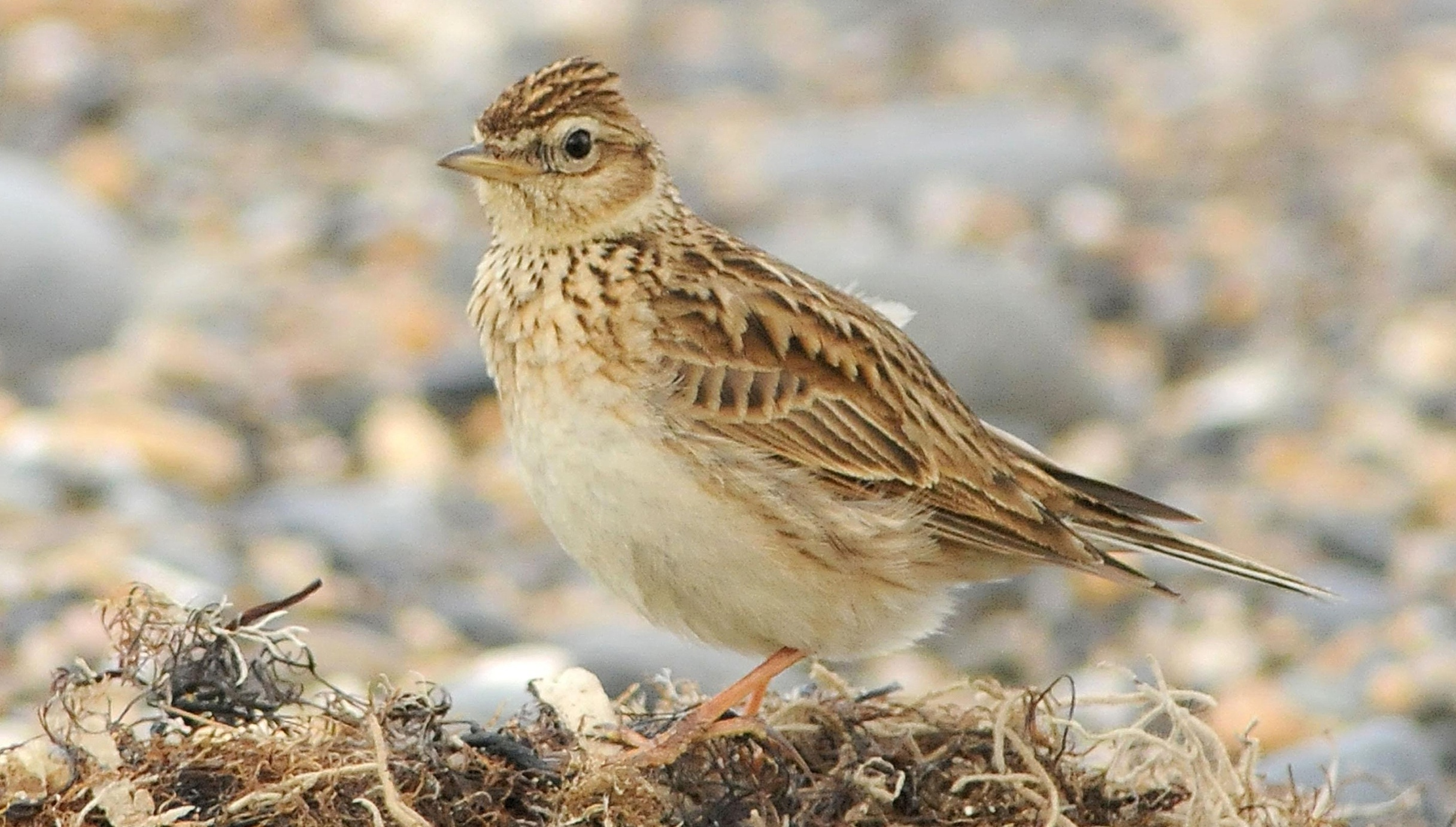 Common bird species such as sparrow and skylark facing decline in ...