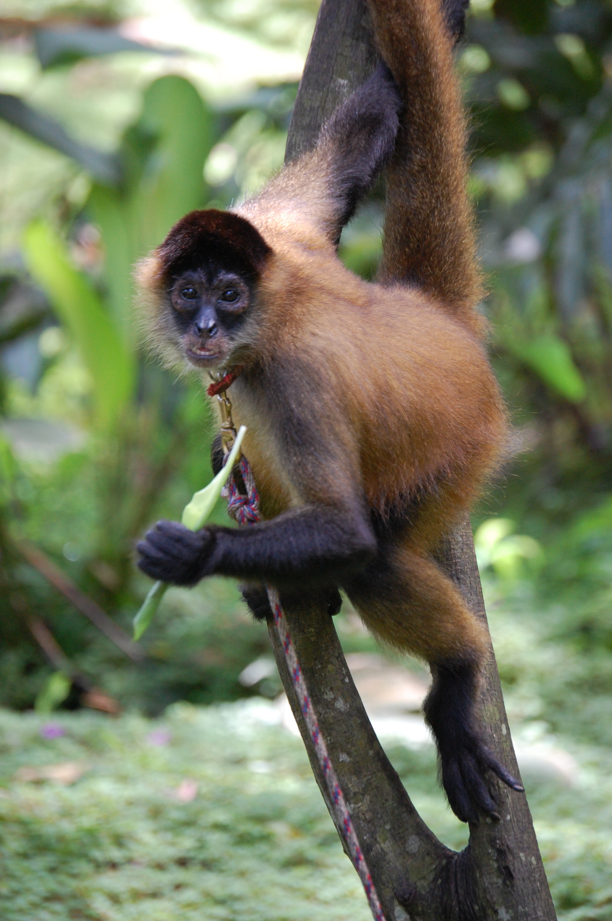 Description Panama spider monkey, Costa Rica.JPG