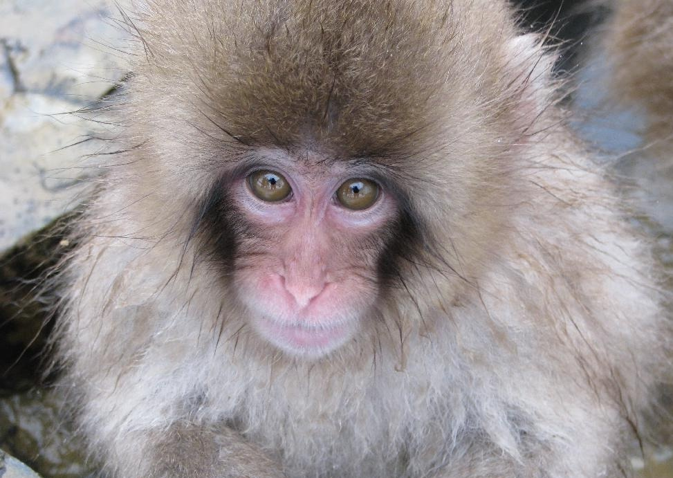 Snow Monkey Park, Nagano, Japan: Reviews, Photos plus Hotels Near Snow ...