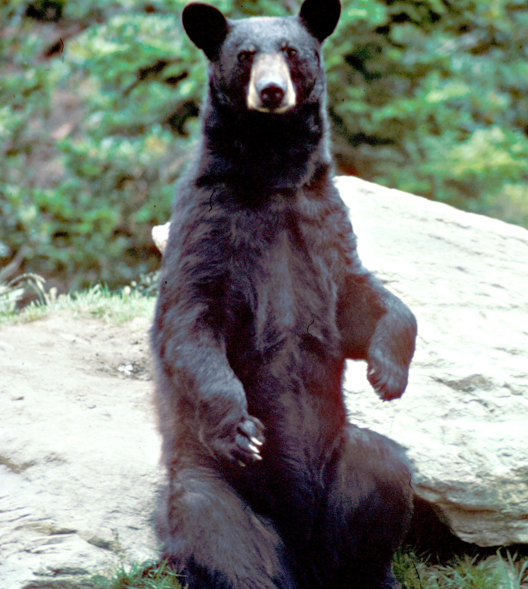 black bear black bear photo credit us fish and wildlife service next ...