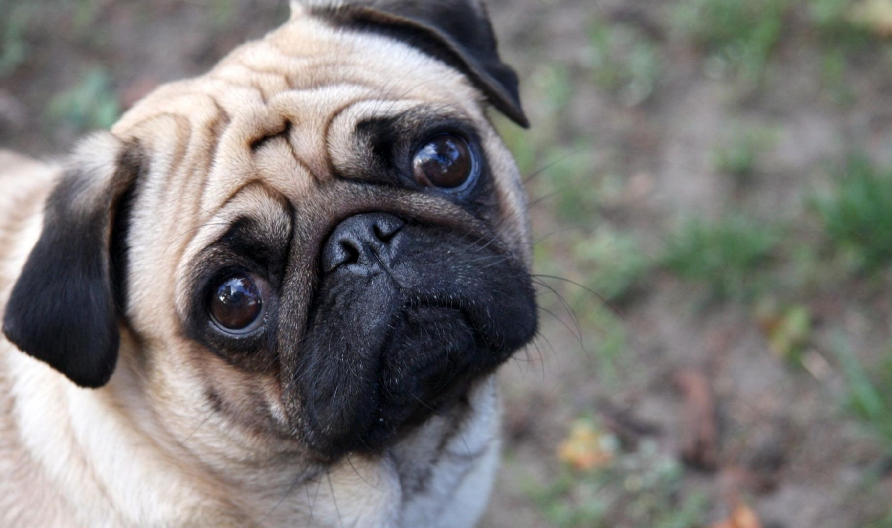 fav 0 rate 0 tweet 1920x1200 animals dog pug resolution 1920x1200 date ...