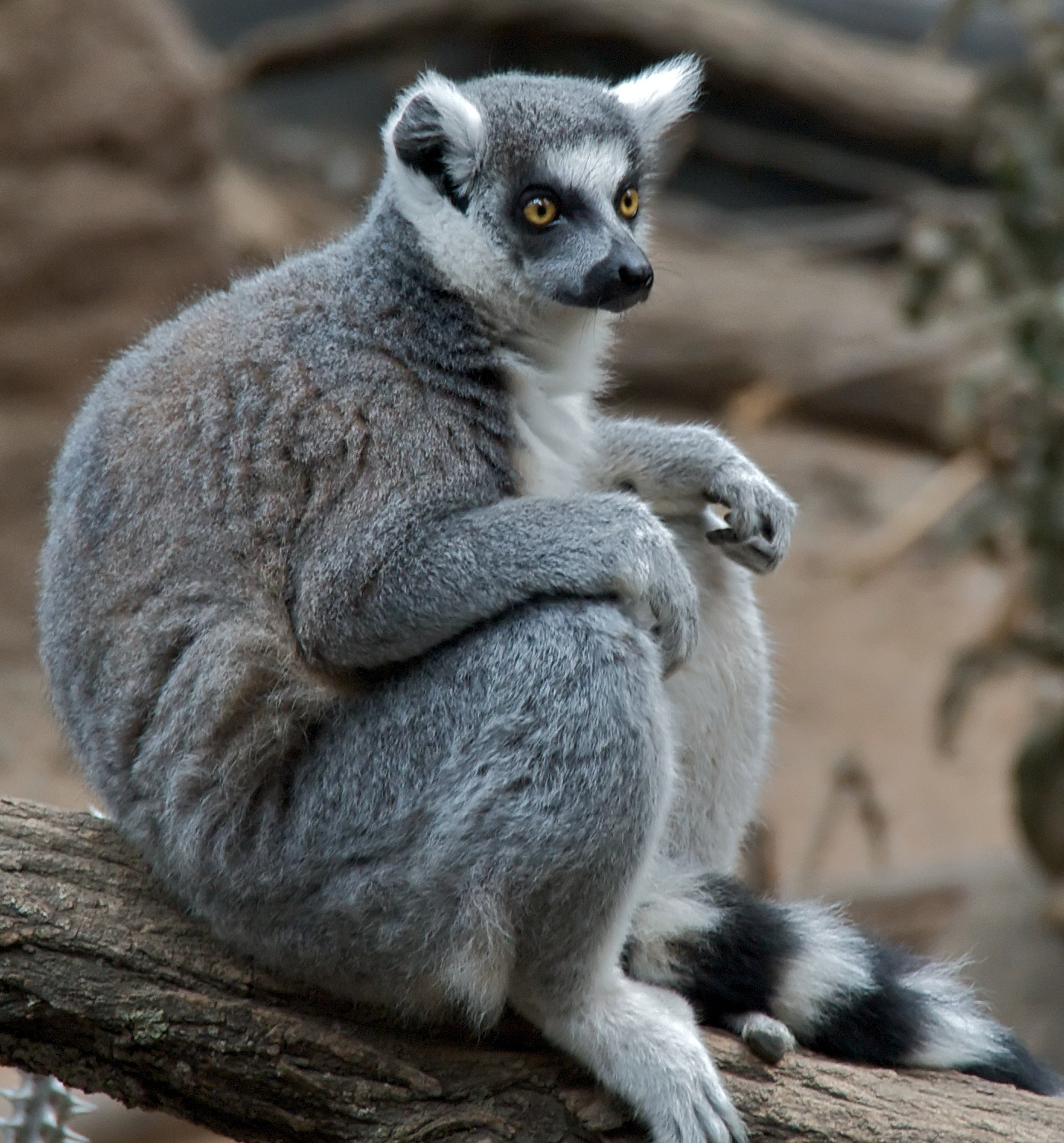 Description Ring tailed Lemur Lemur catta at Bronx Zoo 1 cropped.jpg