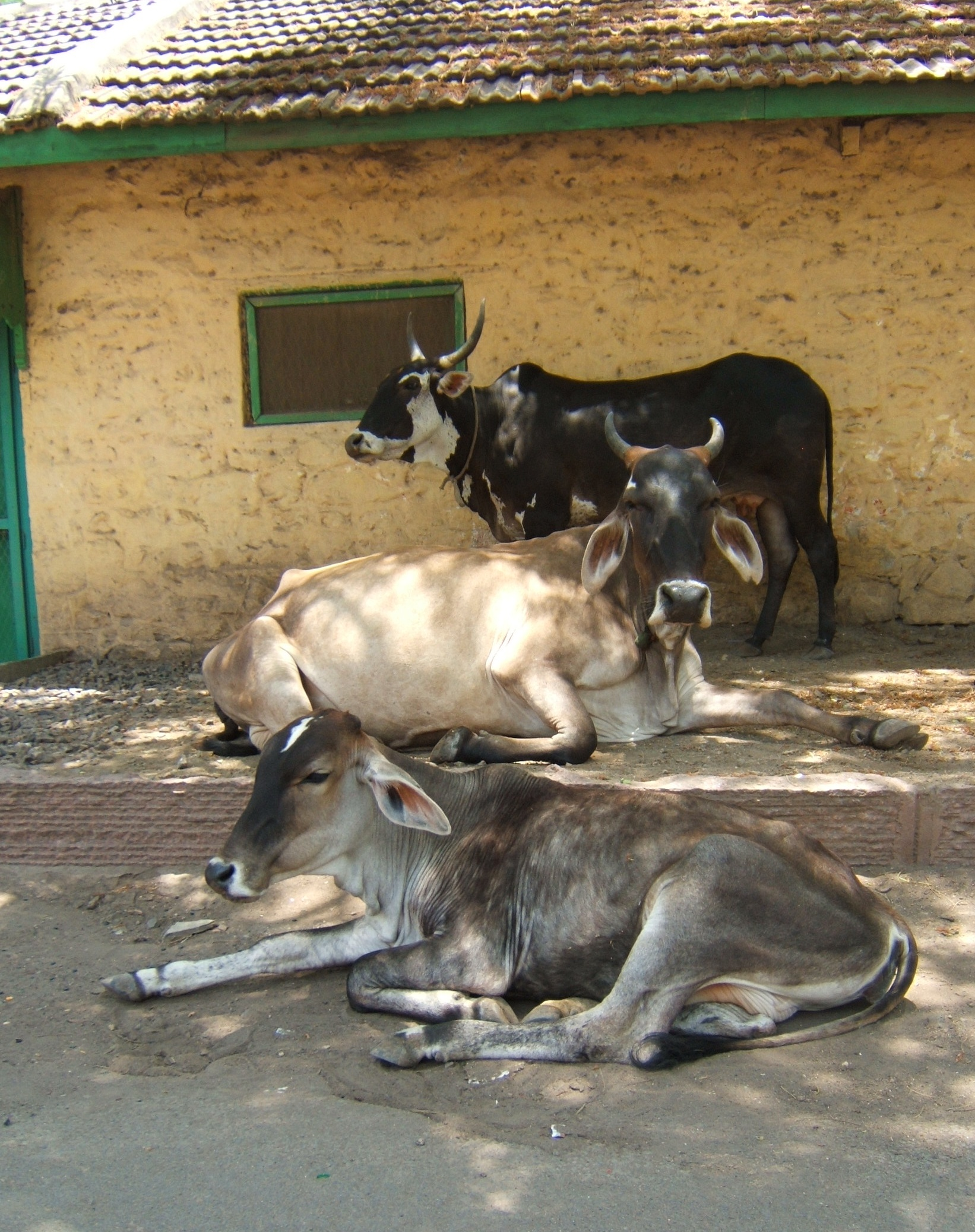 Description Cows in India 2007.JPG