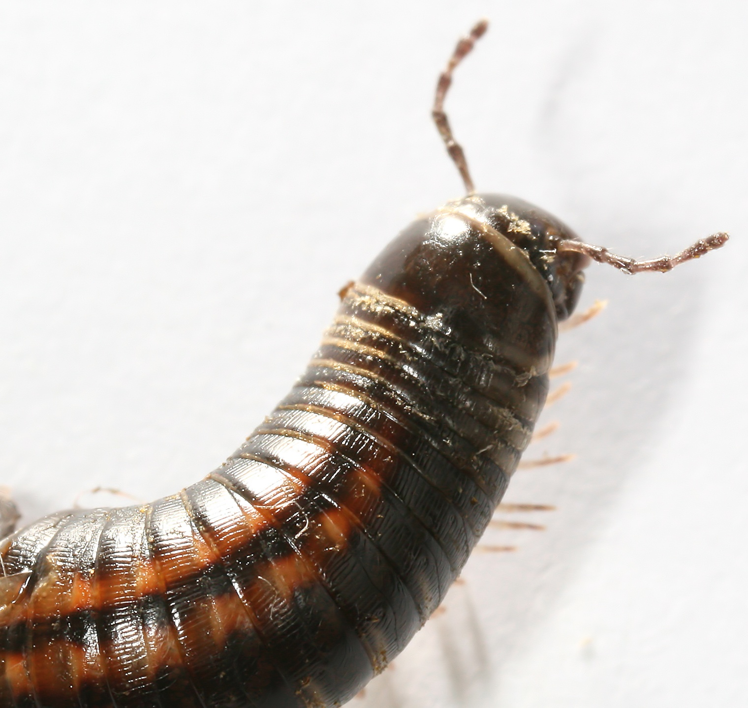 Description Myriapoda Millipede Tausendfuesser2.jpg