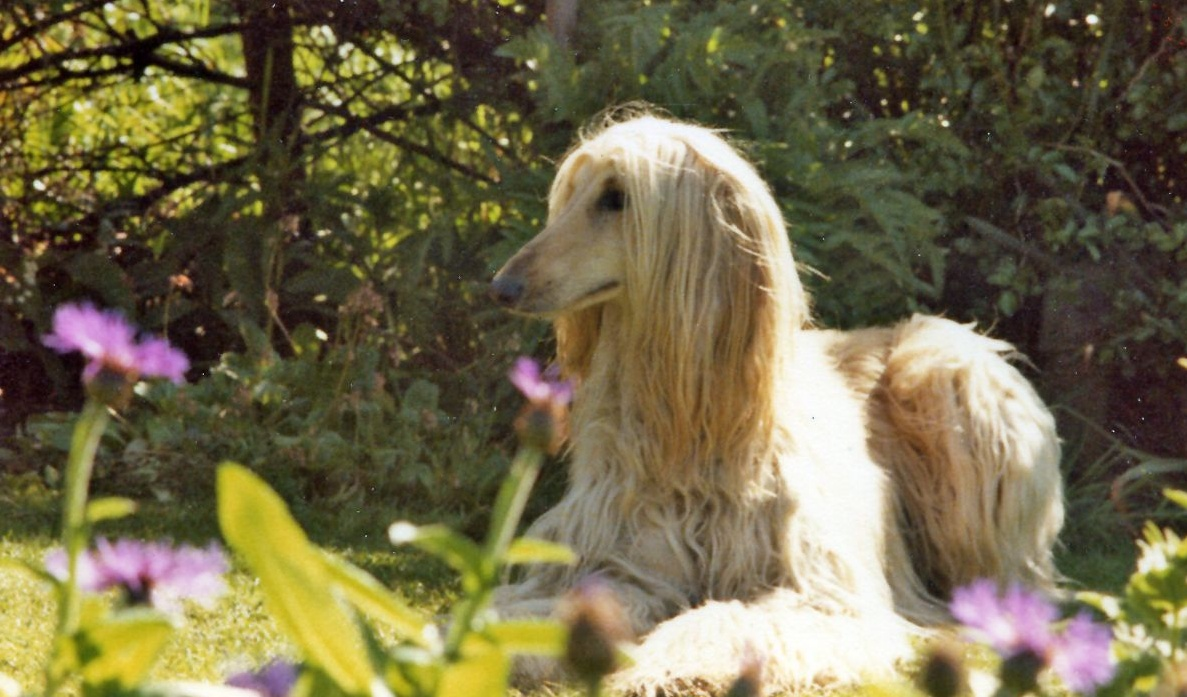 Description Afghan Hound Image 001.jpg