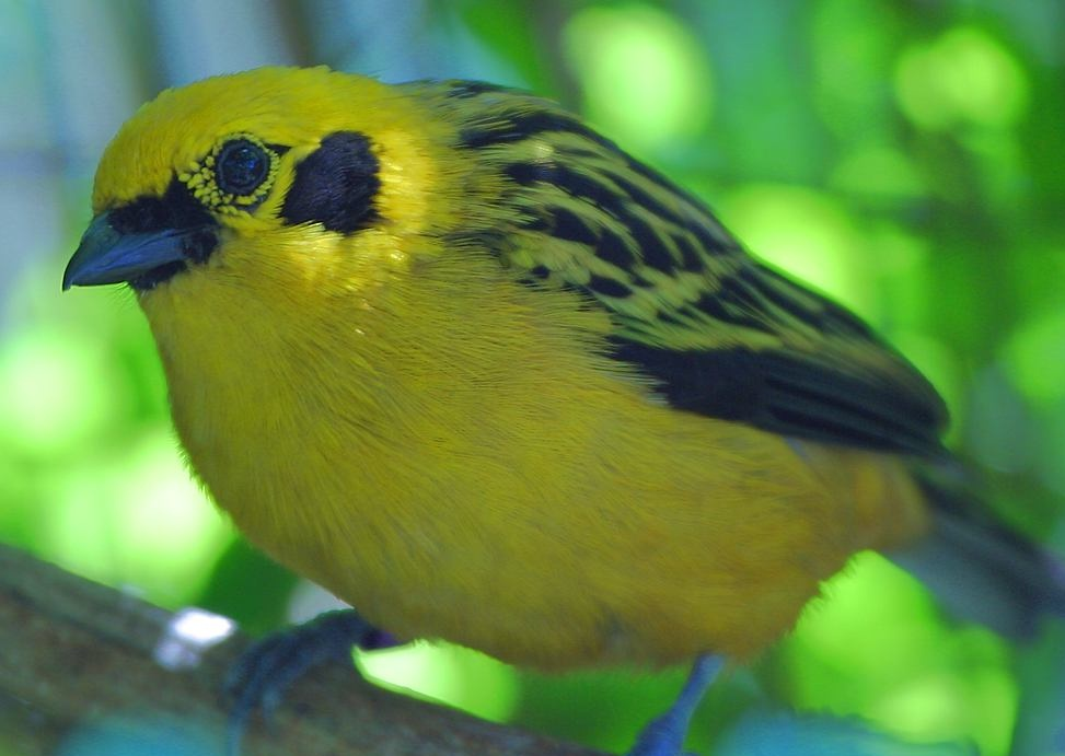 Description Yellow bird.JPG
