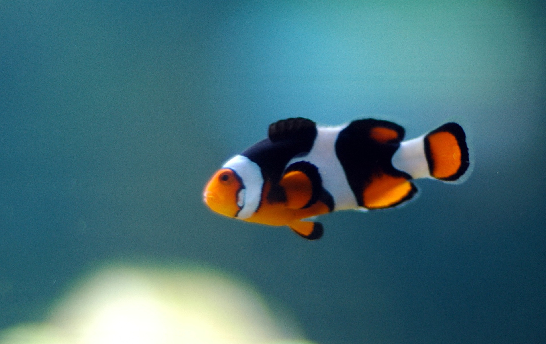 Description Clown Fish Swimming.jpg