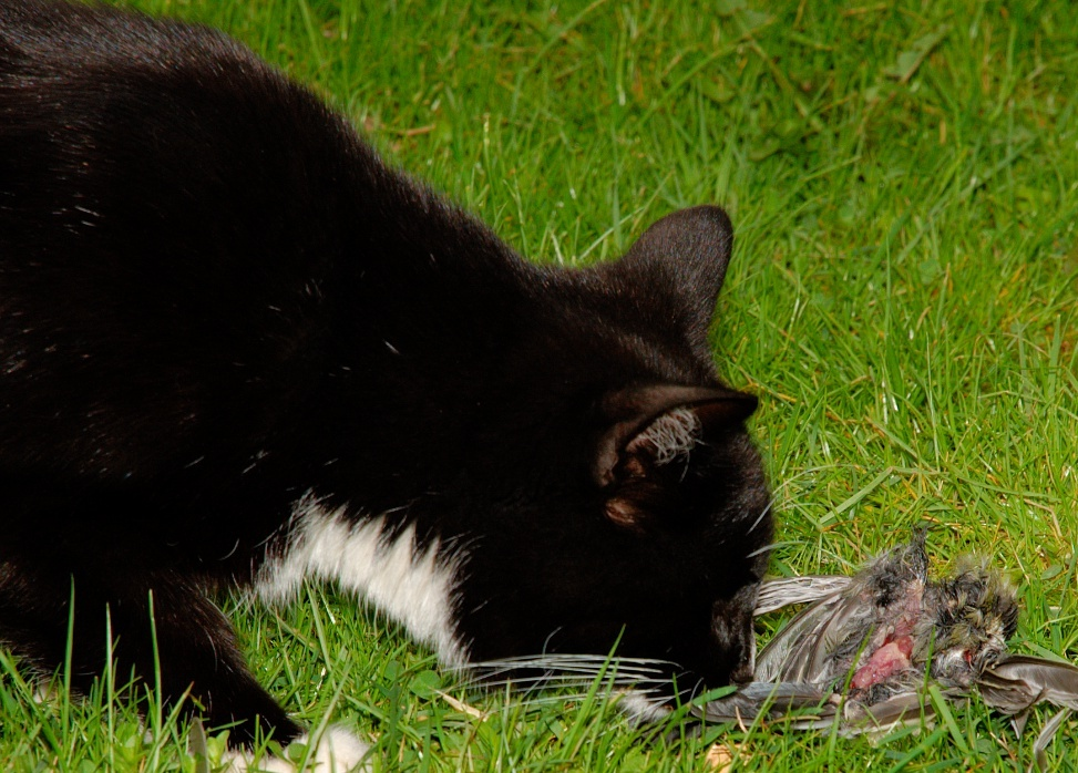 Description Domestic cat eating bird on lawn-8b.jpg