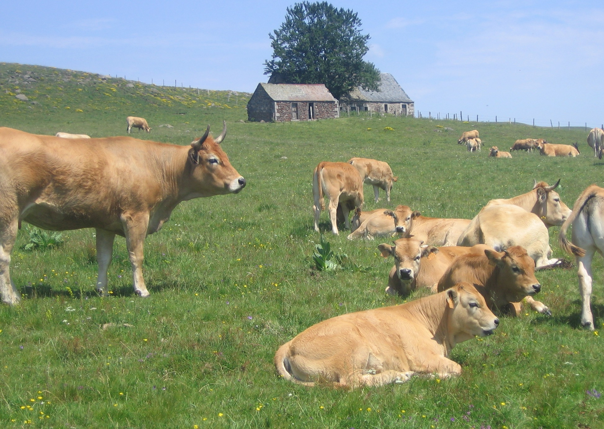 File:Aubrac, cows near a buron.jpg