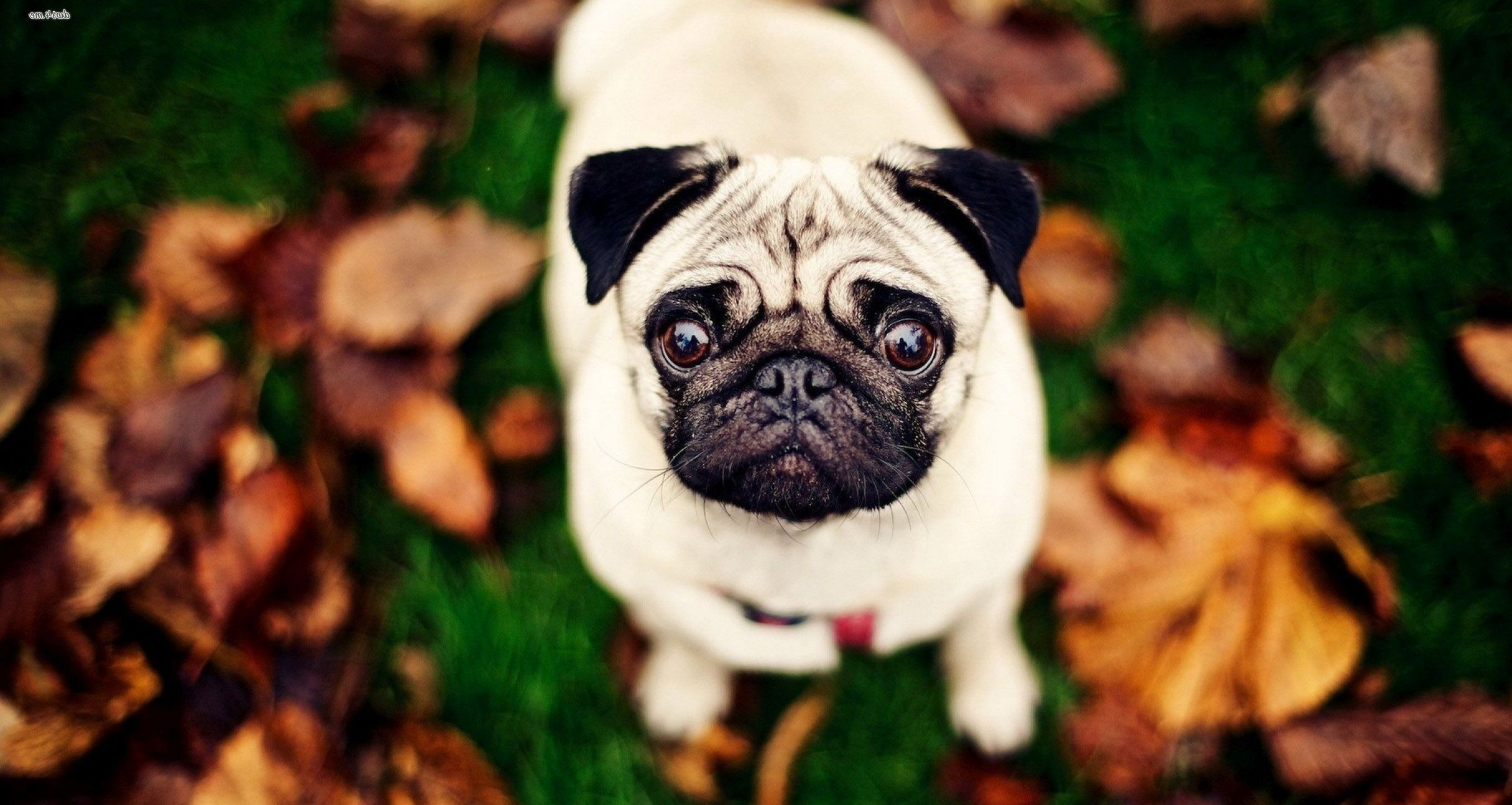 Pug wallpaper - Animal wallpapers - #27948