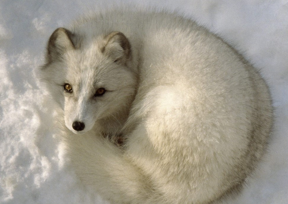 Arctic fox animal