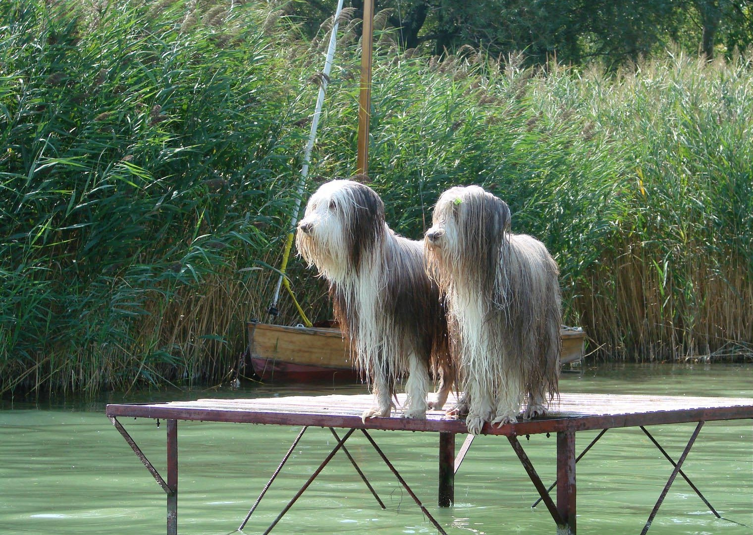 Bearded collie wet dogs wallpaper