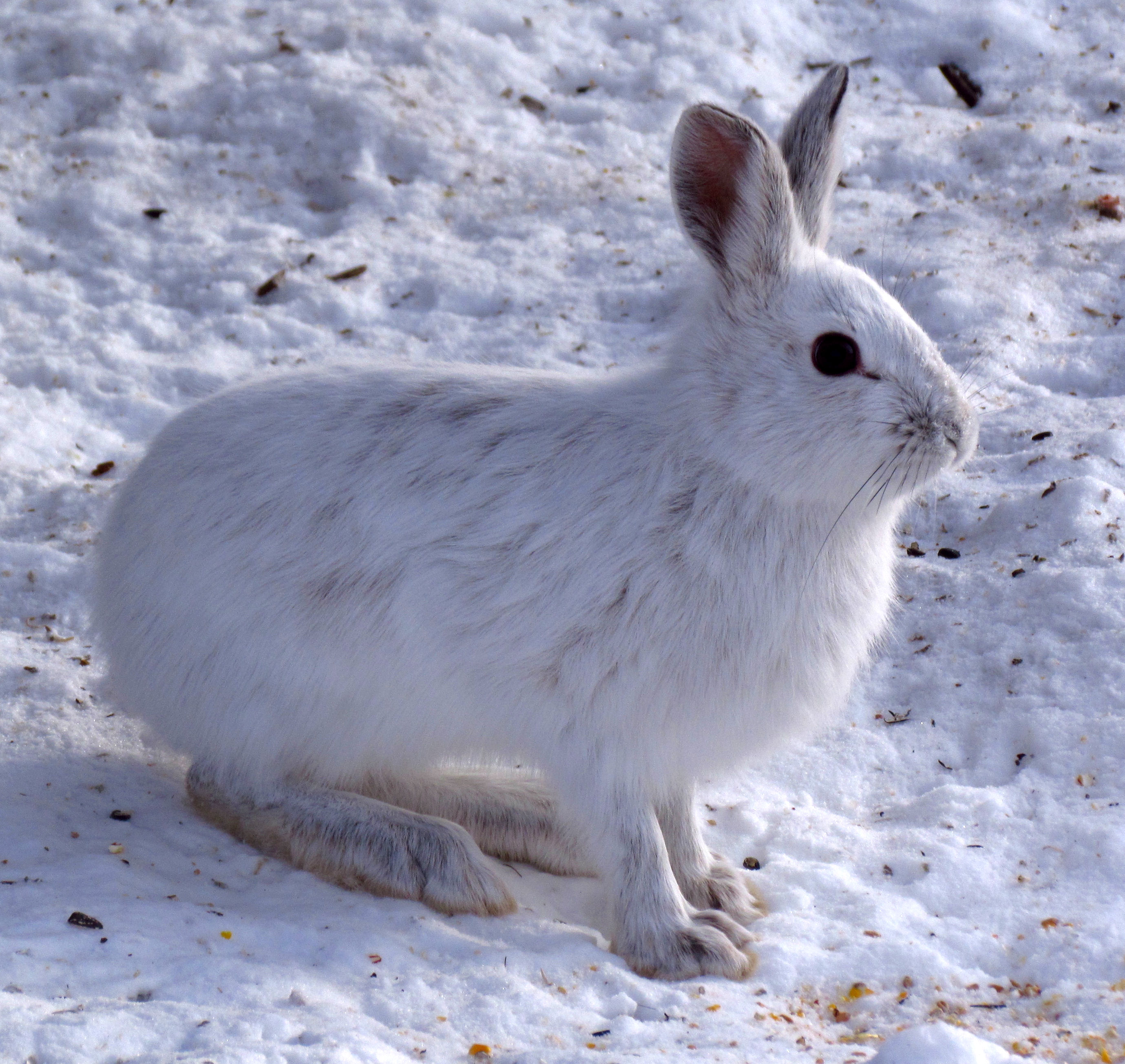 Friday bunnyblogging: snowshoe hares & climate change | Terpsinoe