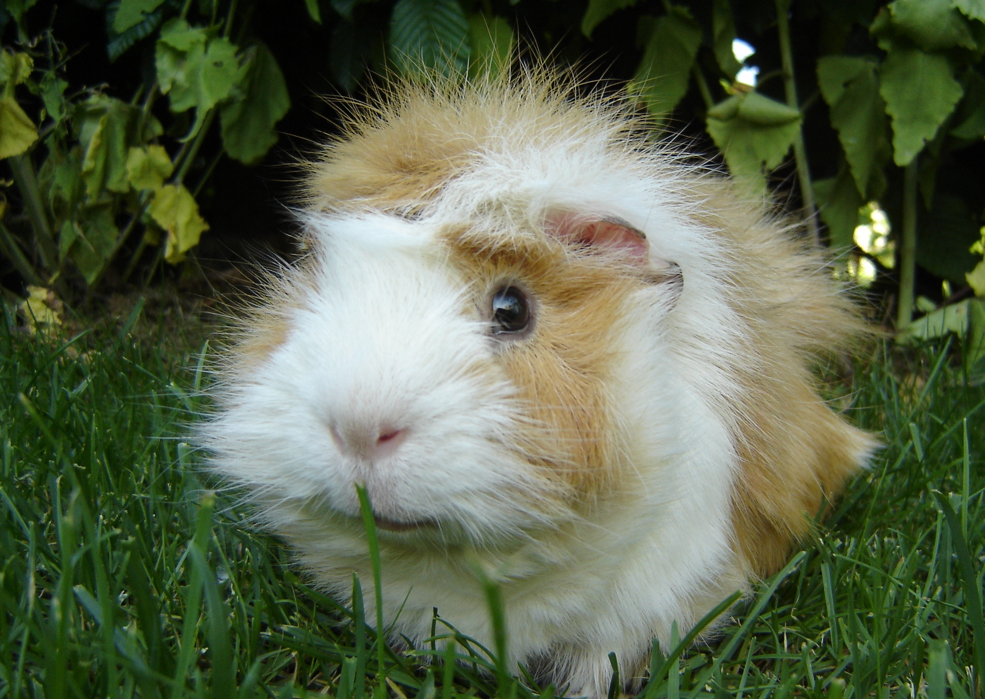 Description Guinea pig-Meerschweinchen.jpg