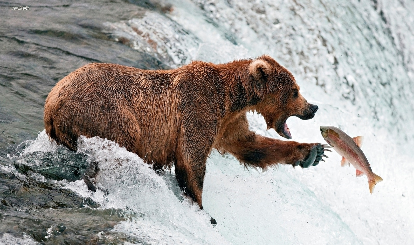 Brown bear fishing wallpaper 1280x800 Brown bear fishing wallpaper ...