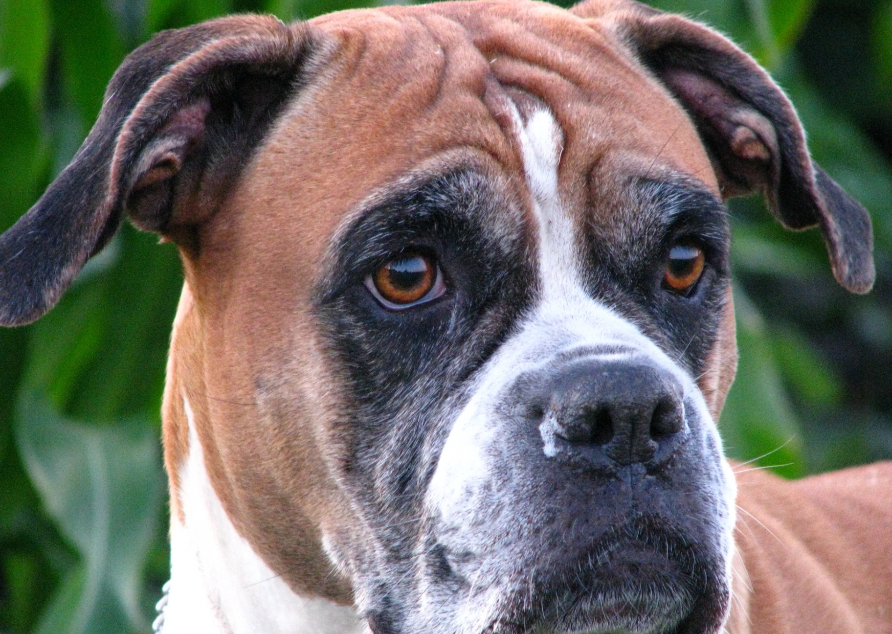 Boxer Dog Health Facts