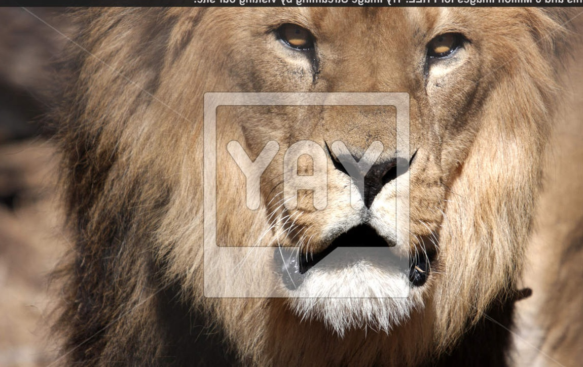 Royalty Free Image of Angry Male Lion