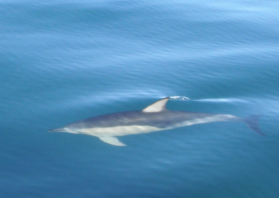 Dusky Dolphin | Flickr - Photo Sharing!