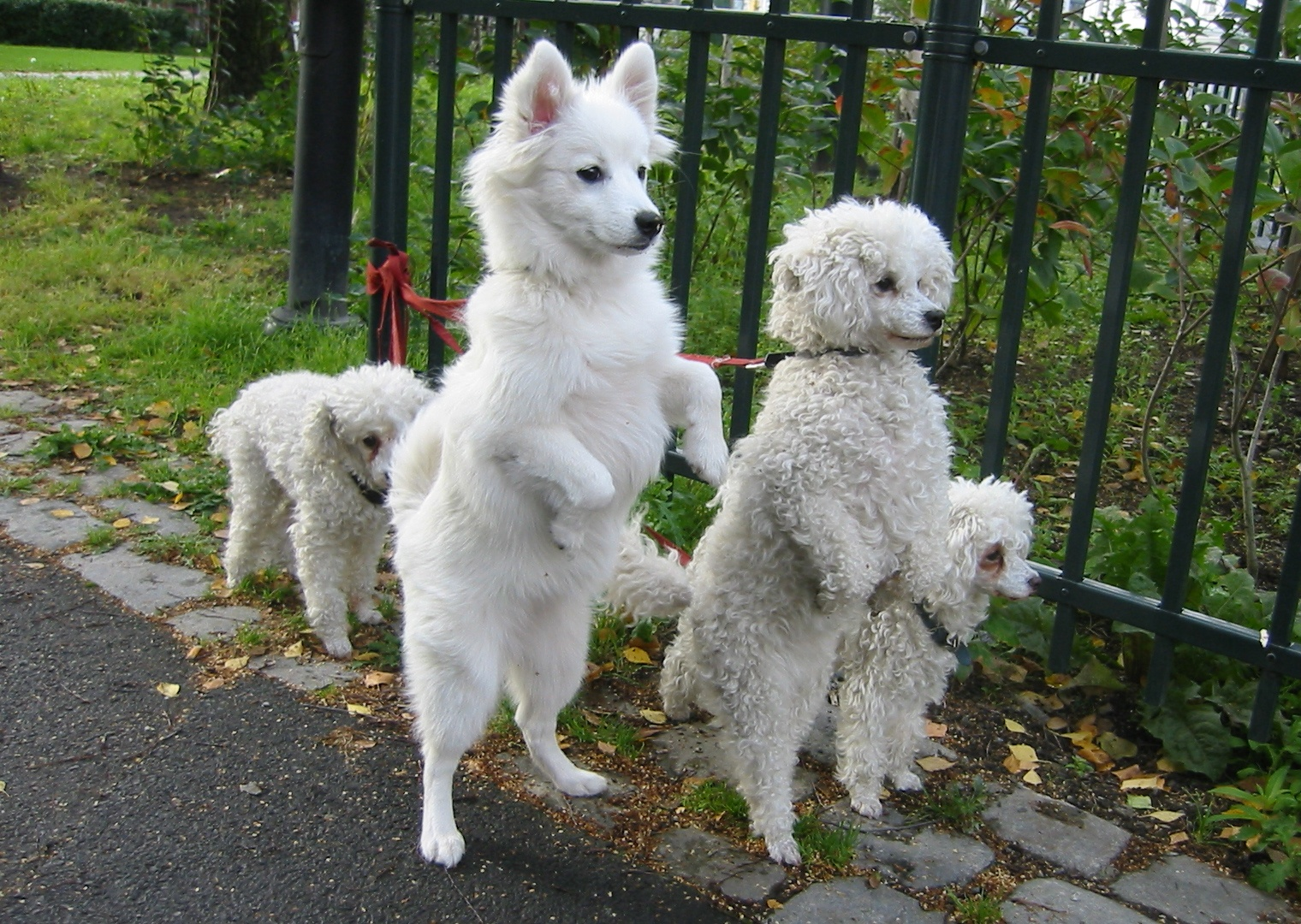 File:White dogs on hind legs.jpg