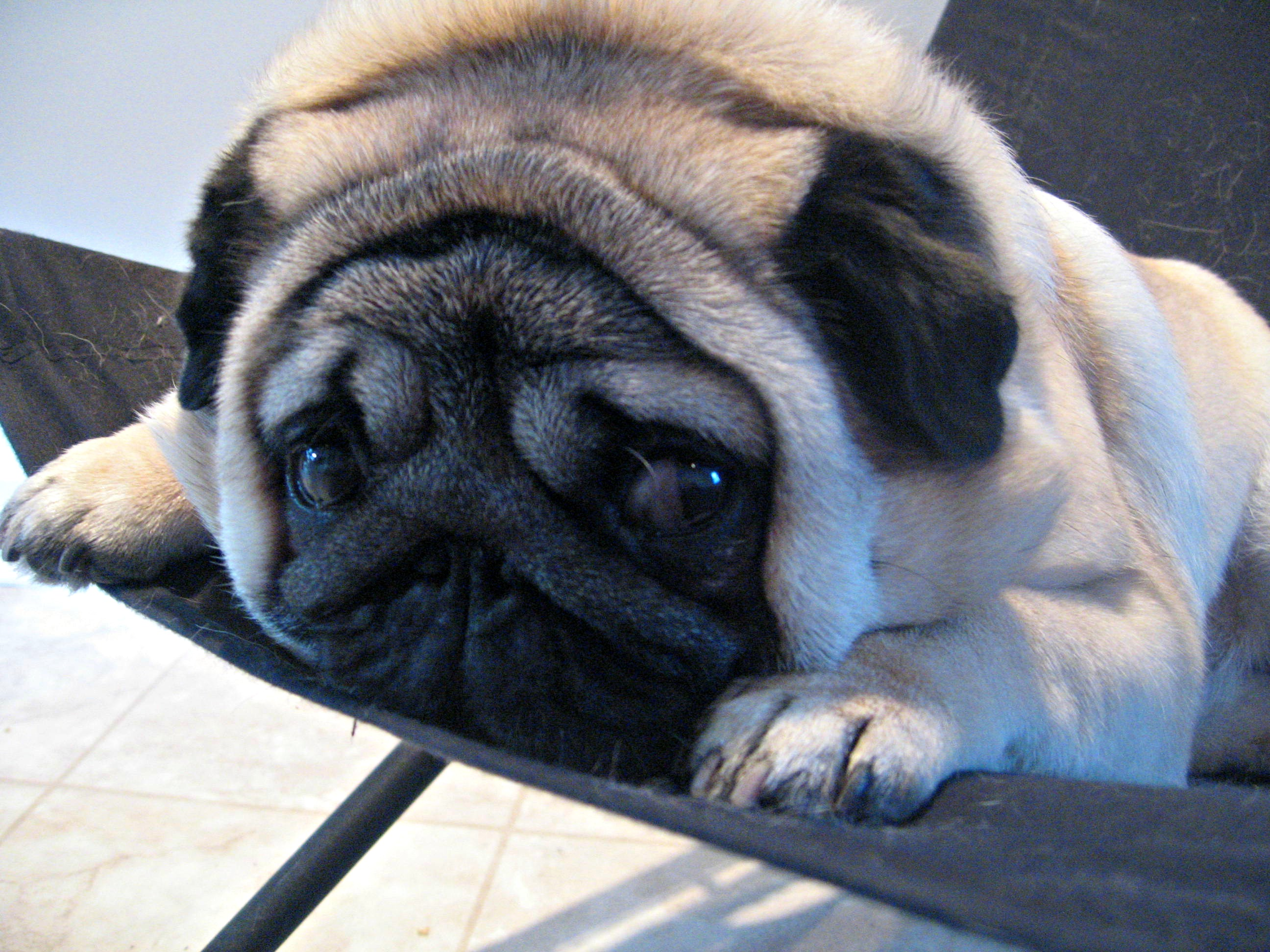 pictures of ugly pugs