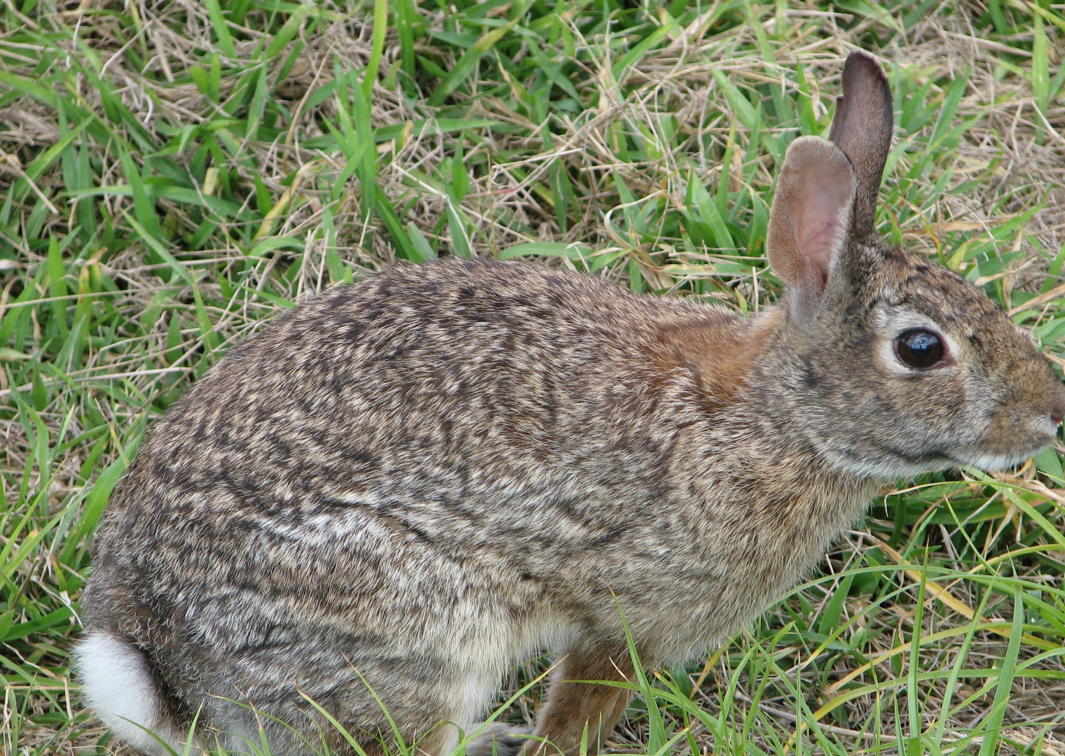 pictures of wild rabbits