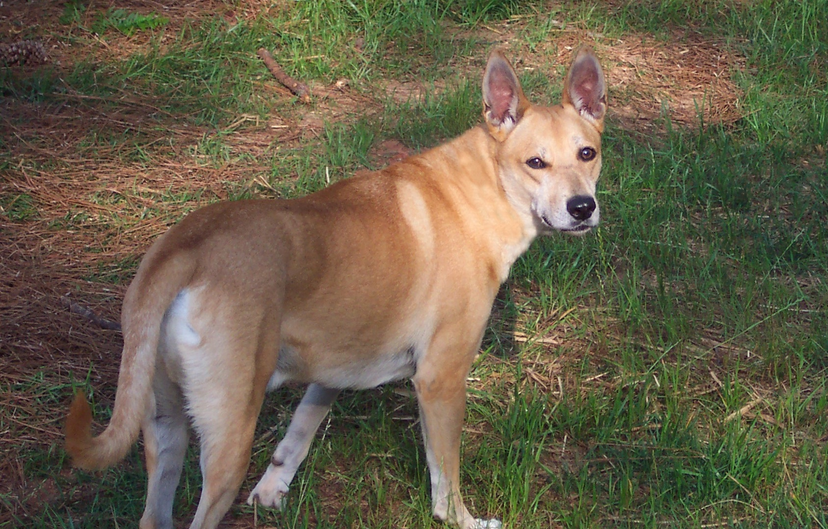 carolina dog pictures