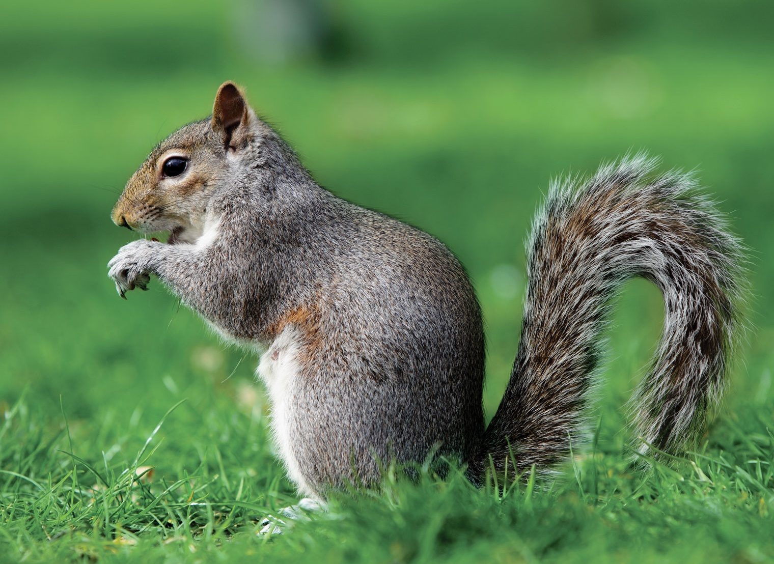 Eastern gray squirrel -- Britannica Online Encyclopedia