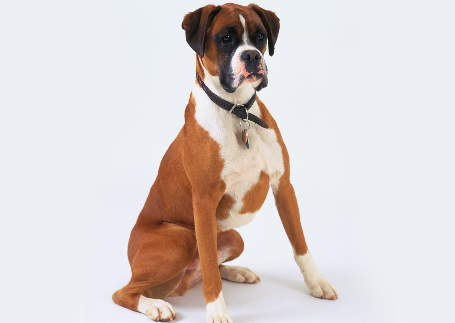 Animal - Boxer Dog Boxer Dog Wallpaper