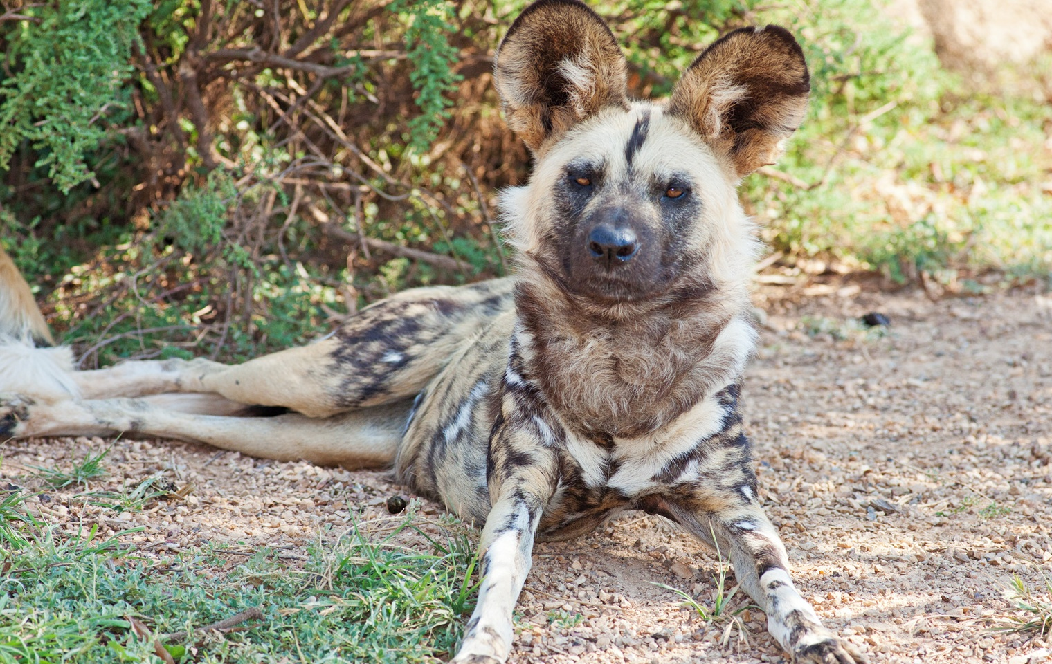 Description African wild dog Feb09 02.jpg