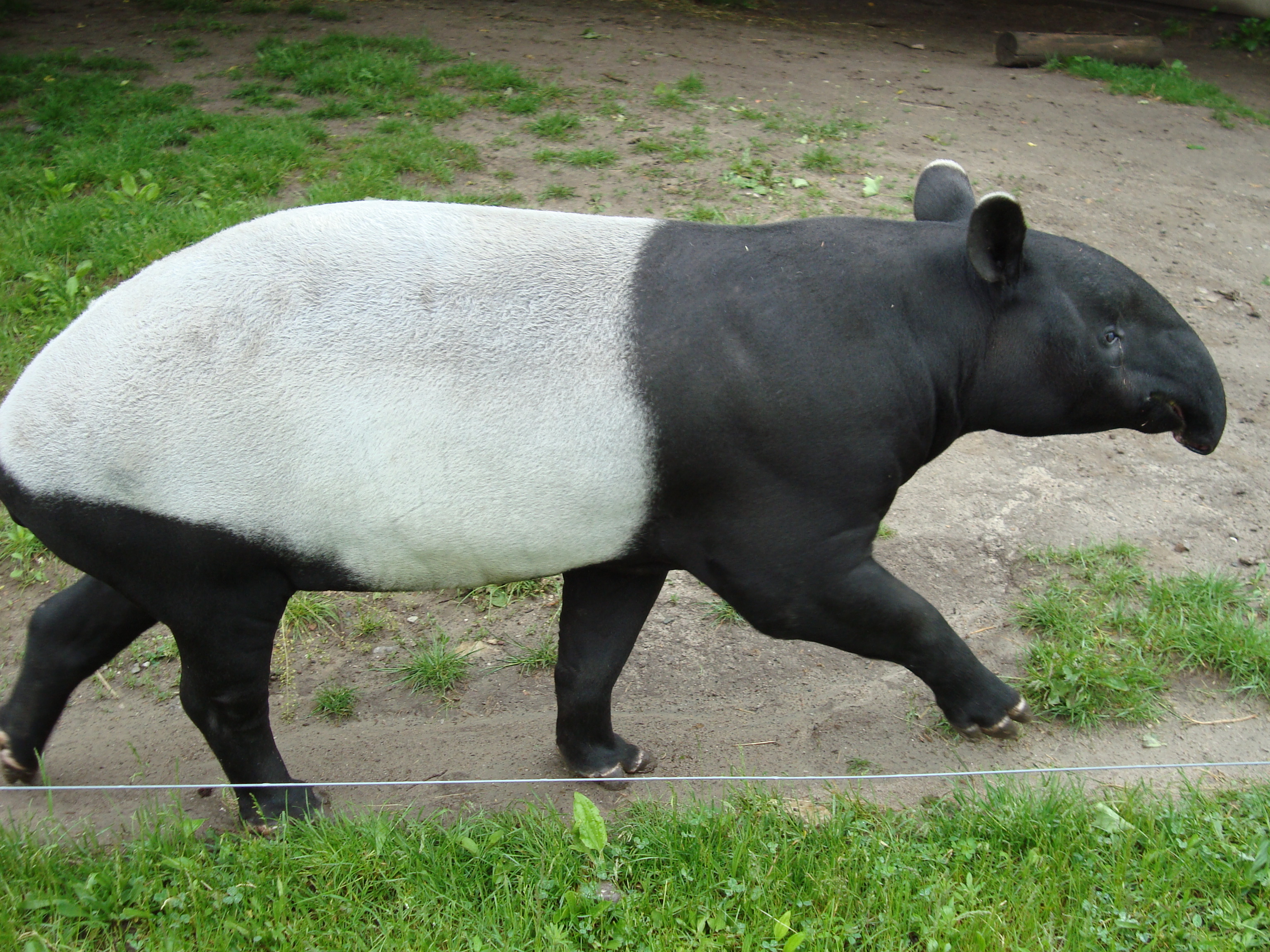 The Tapir Pictures   Image Gallery on Animal Picture Society