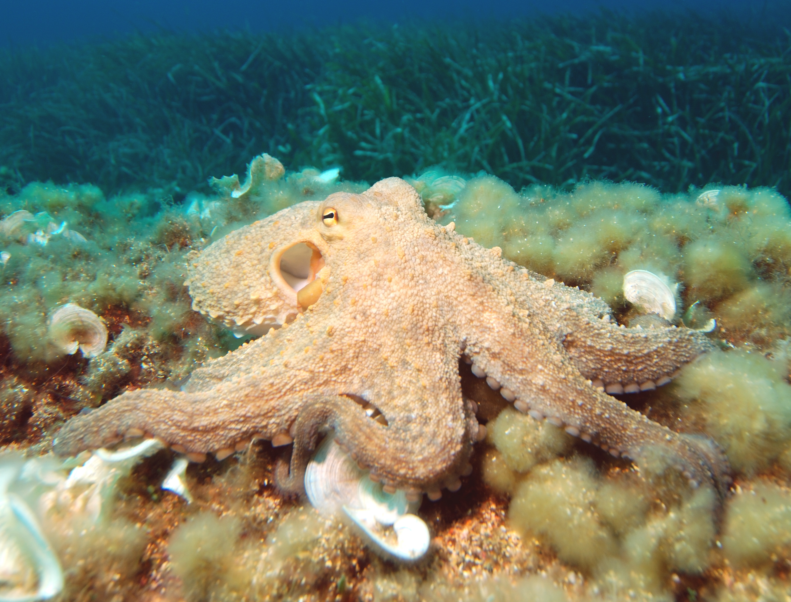 Description Octopus2.jpg