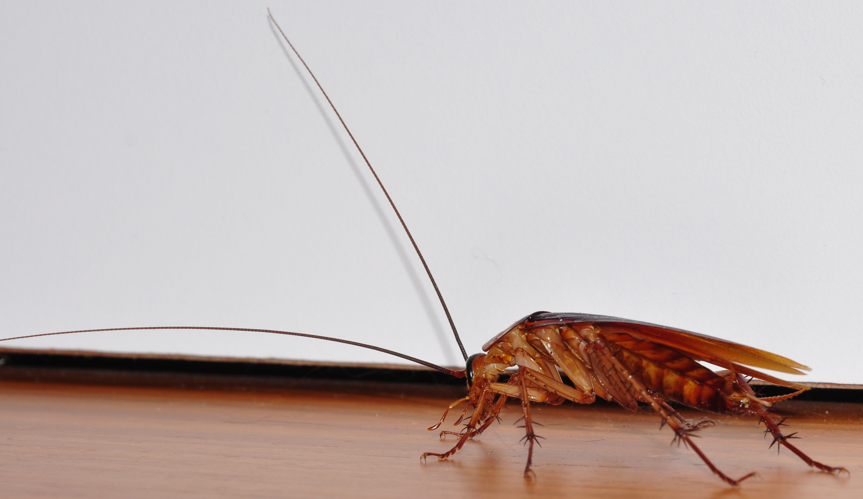 Description Cockroach-closeup-left-side.jpg