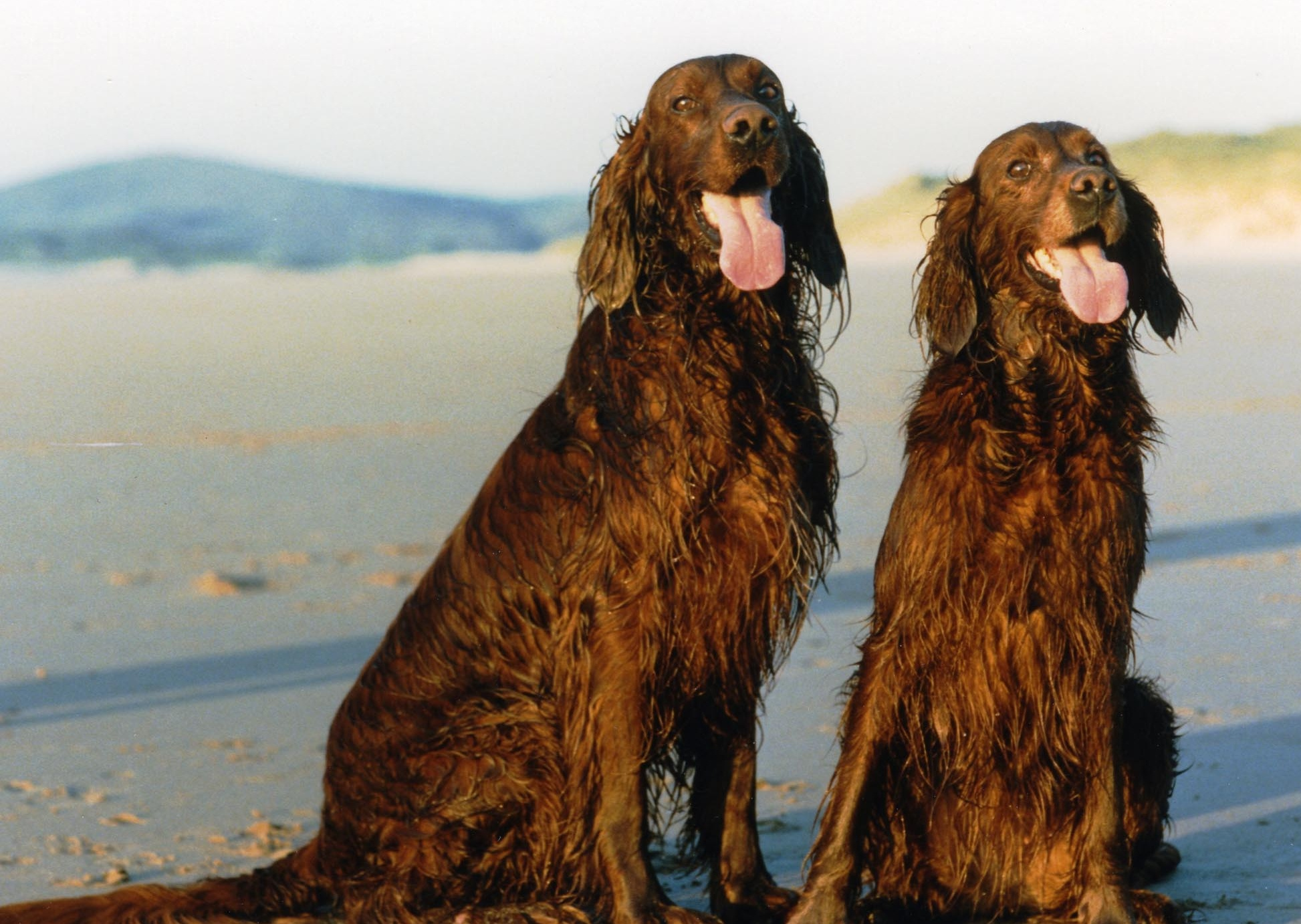 two cute irish setters on the beacj image wallpaper