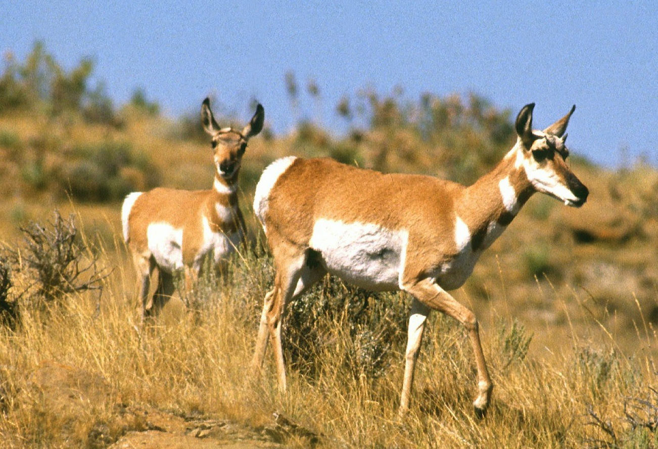 pictures of pronghorn antelope