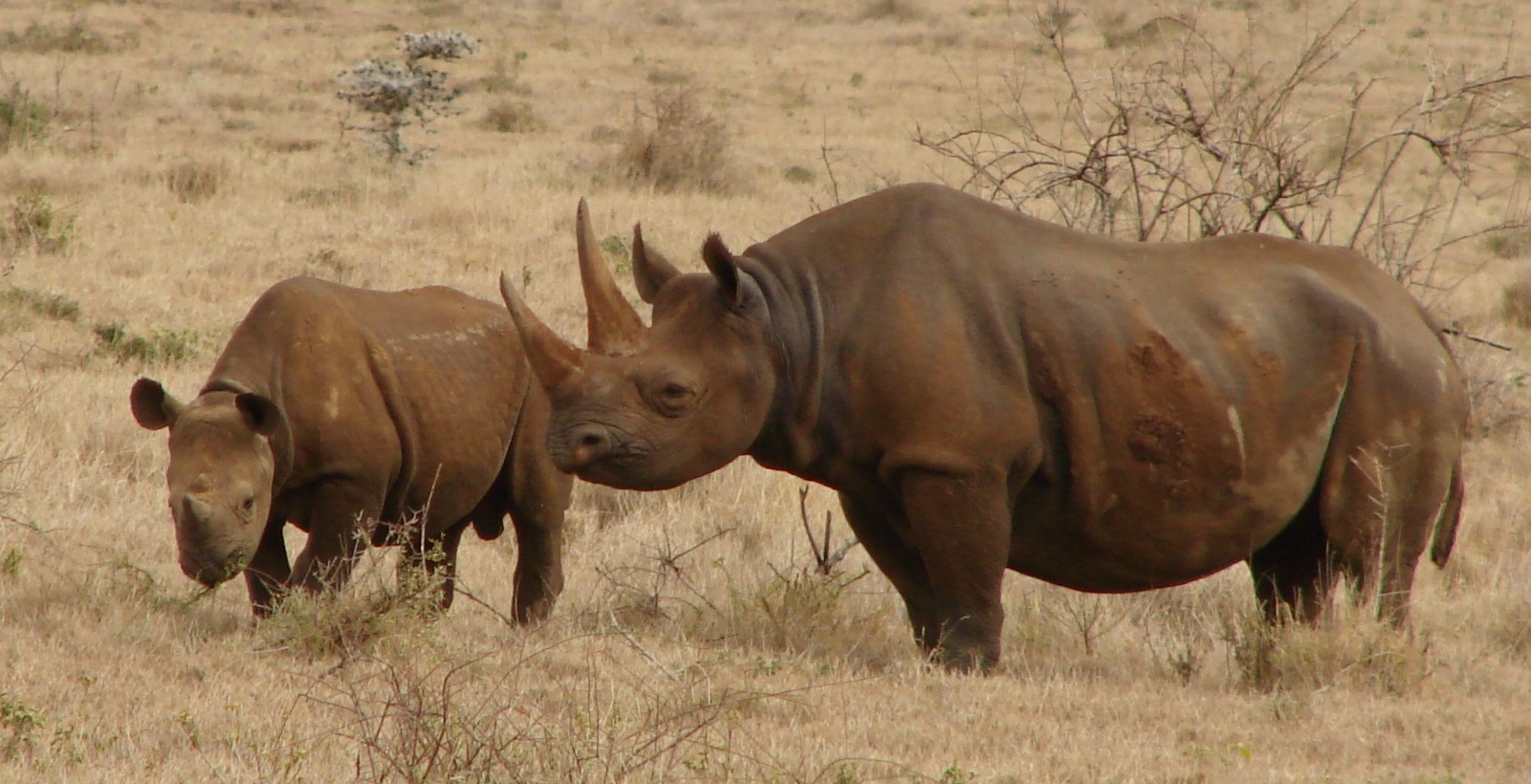 Description Black Rhinos Kenya.jpg