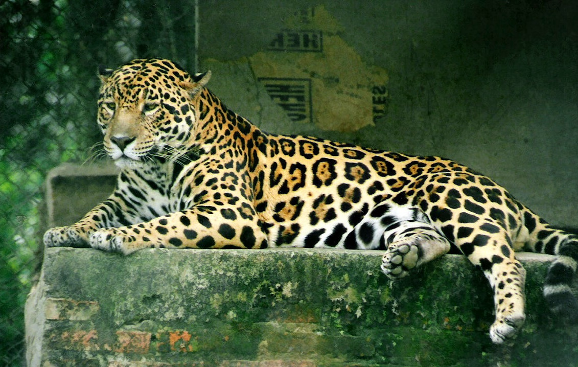 picture of a jaguar