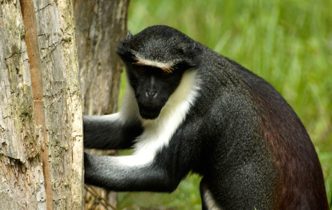 One Monkey Species Cracks Another's Linguistic Code - NBC News