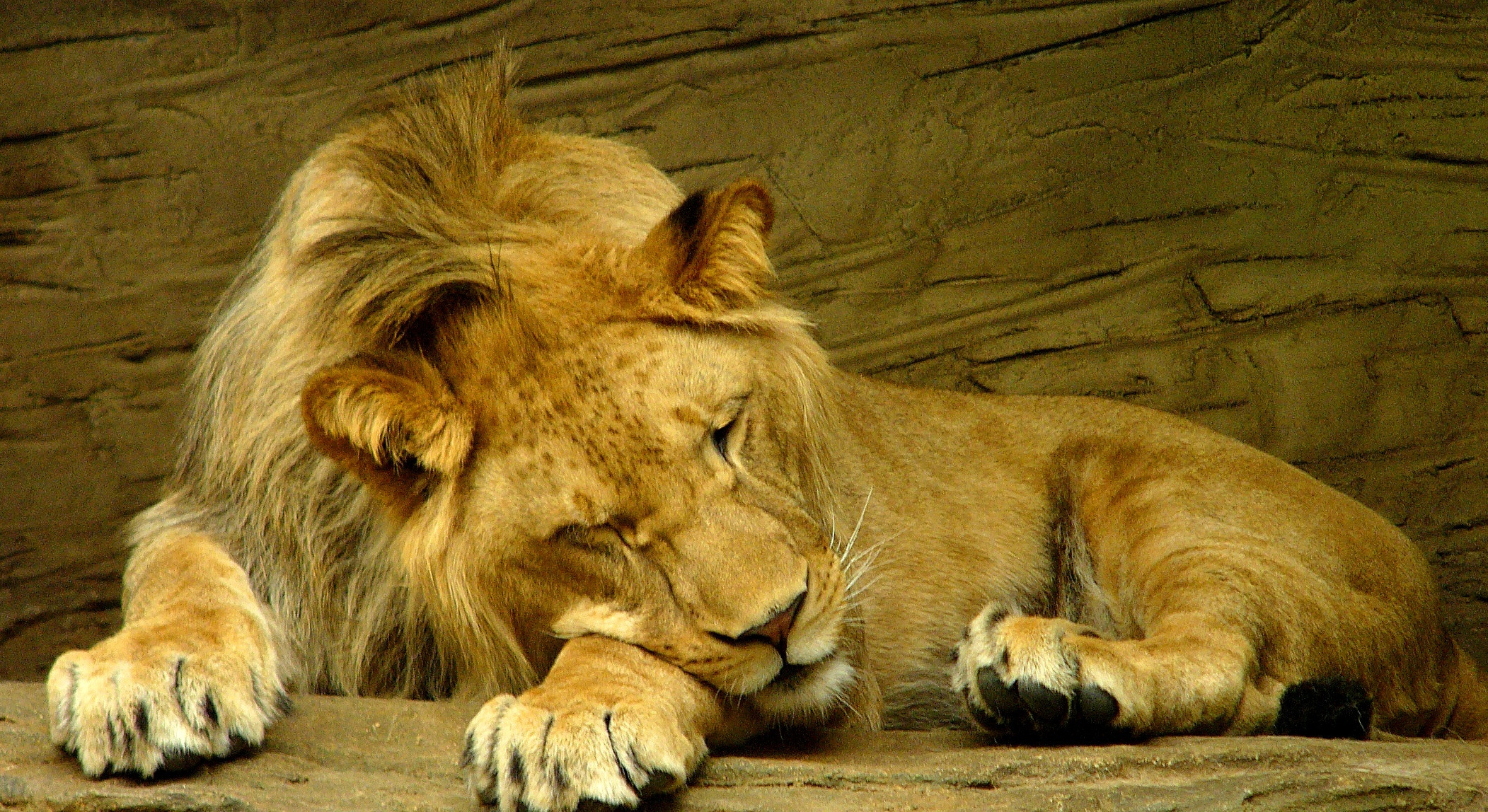 Description Sleeping lion.jpg