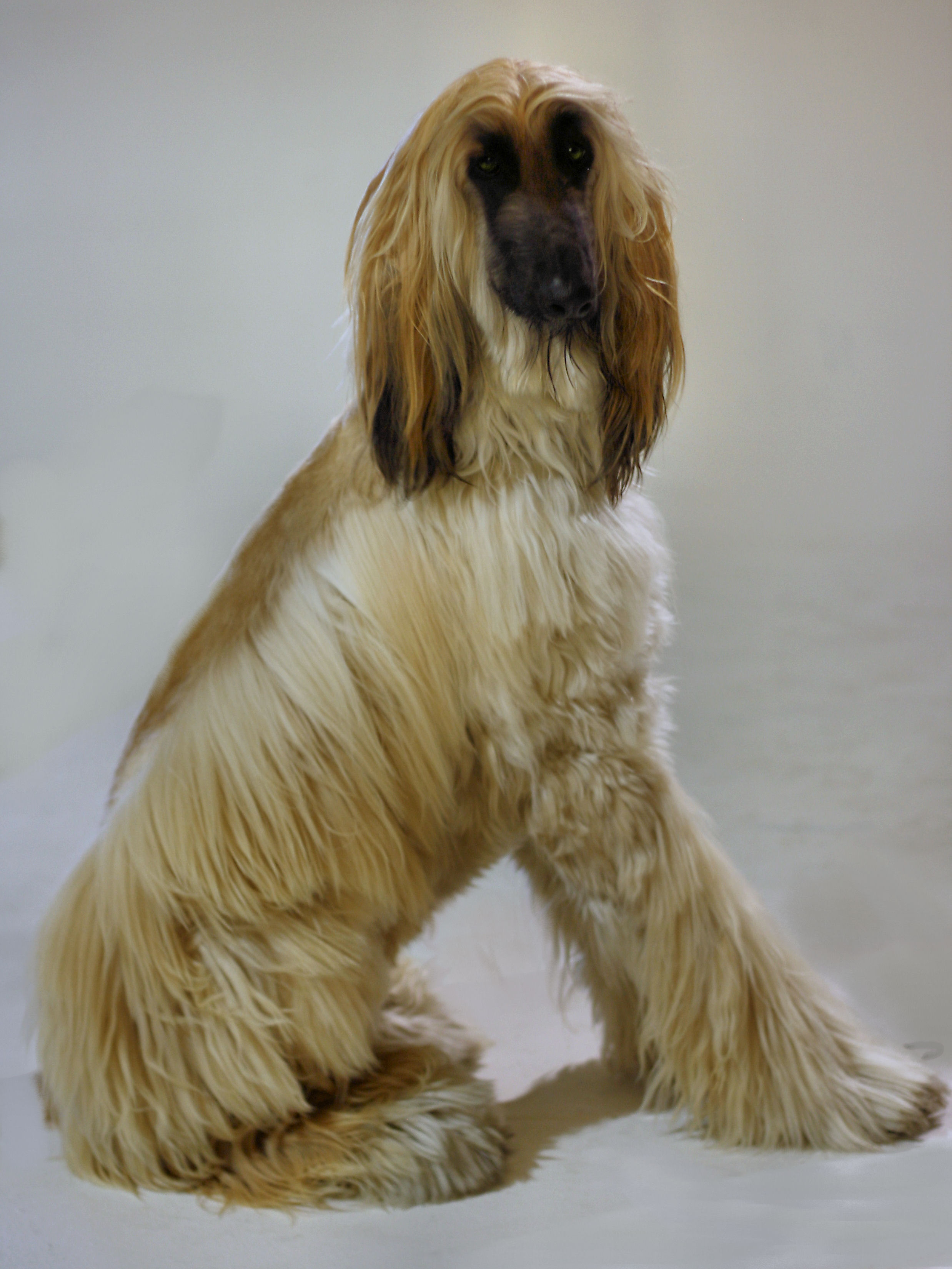 Description Afghan Hound3.jpg