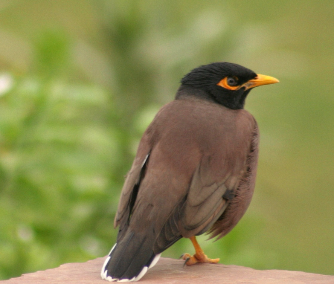 Description Mynah bird.jpg