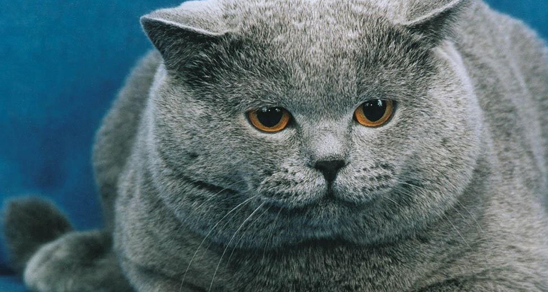 Grey russian cat animals 1920x1080