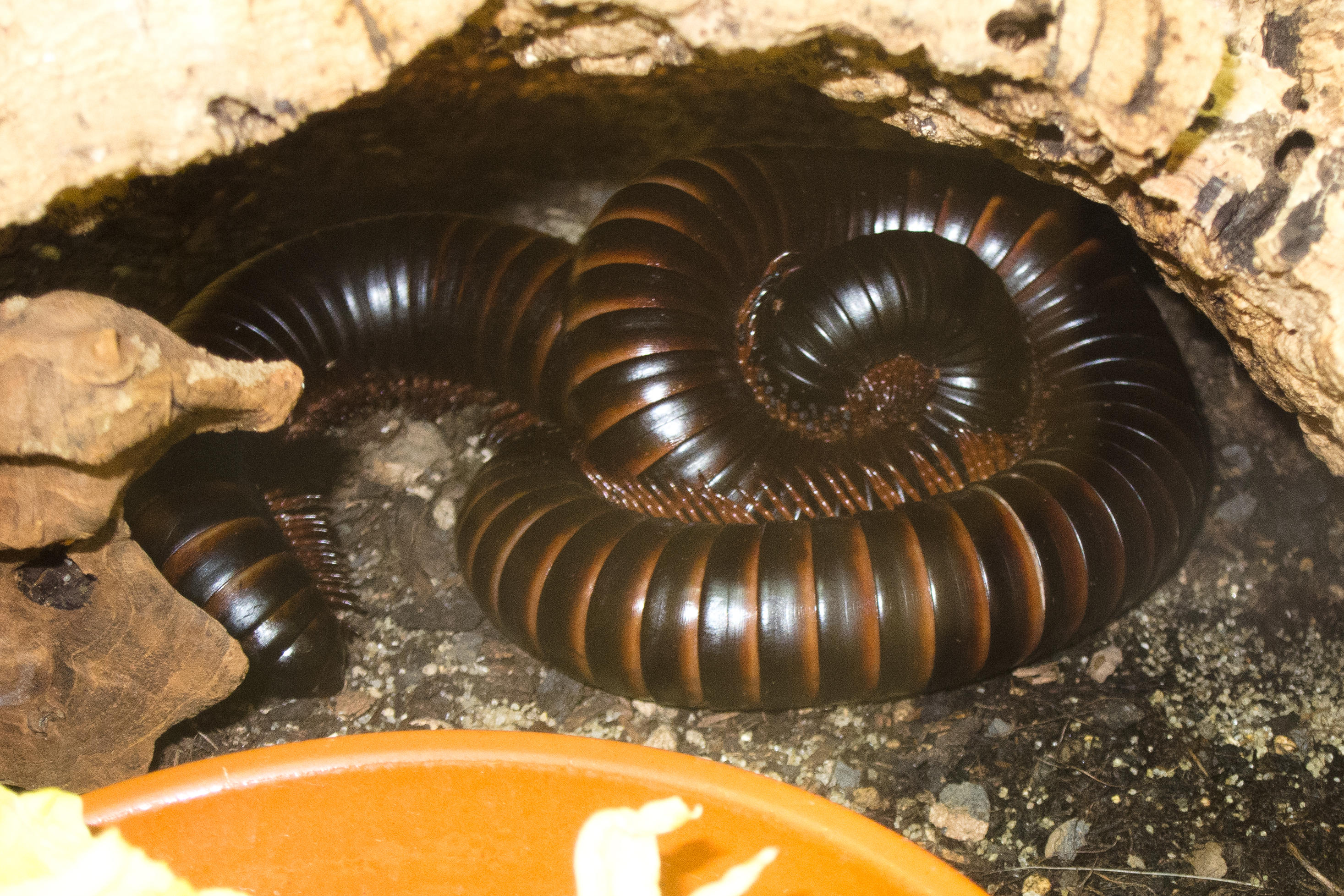 Description Giant millipede (8150005711).jpg