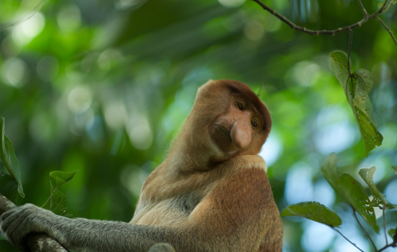 Description Proboscis Monkey (3679459366).jpg