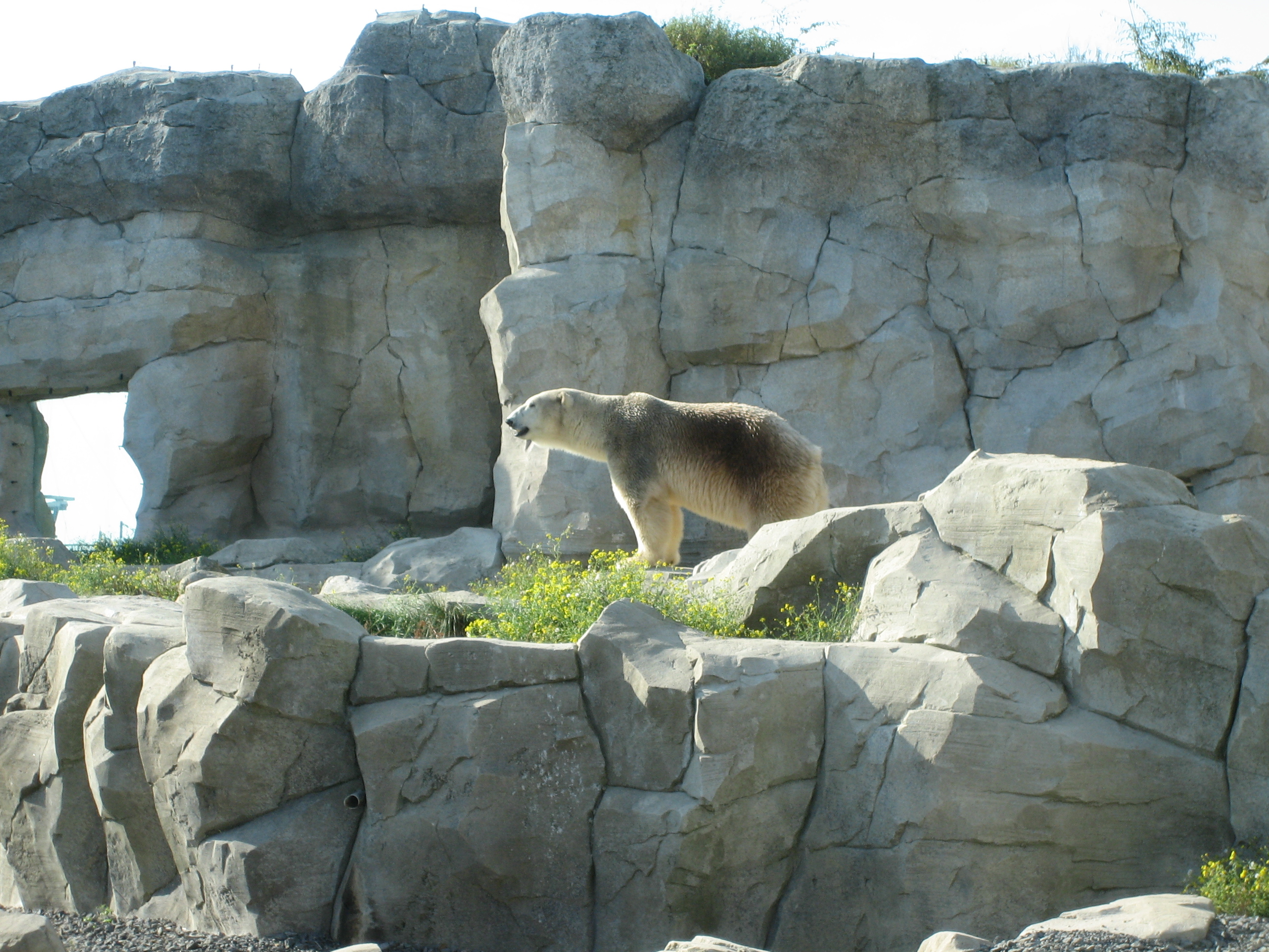 Description Polar Bear - Zoo am Meer.jpg