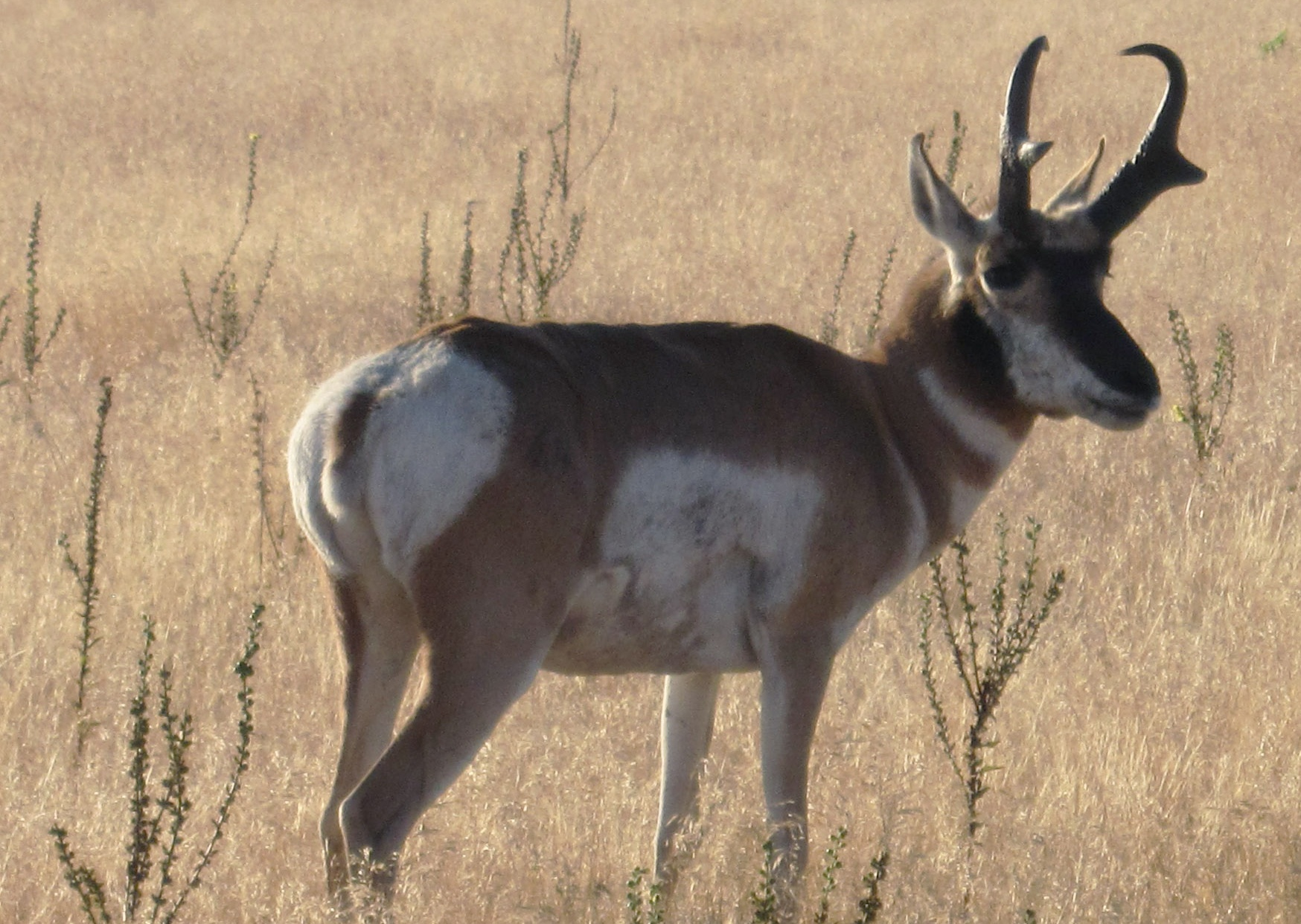 Description Pronghorn - Antelope Island.jpg