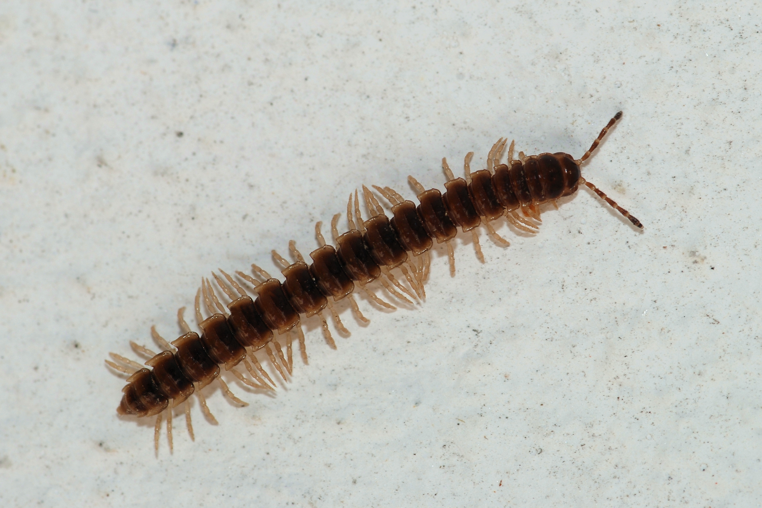 millipede picture
