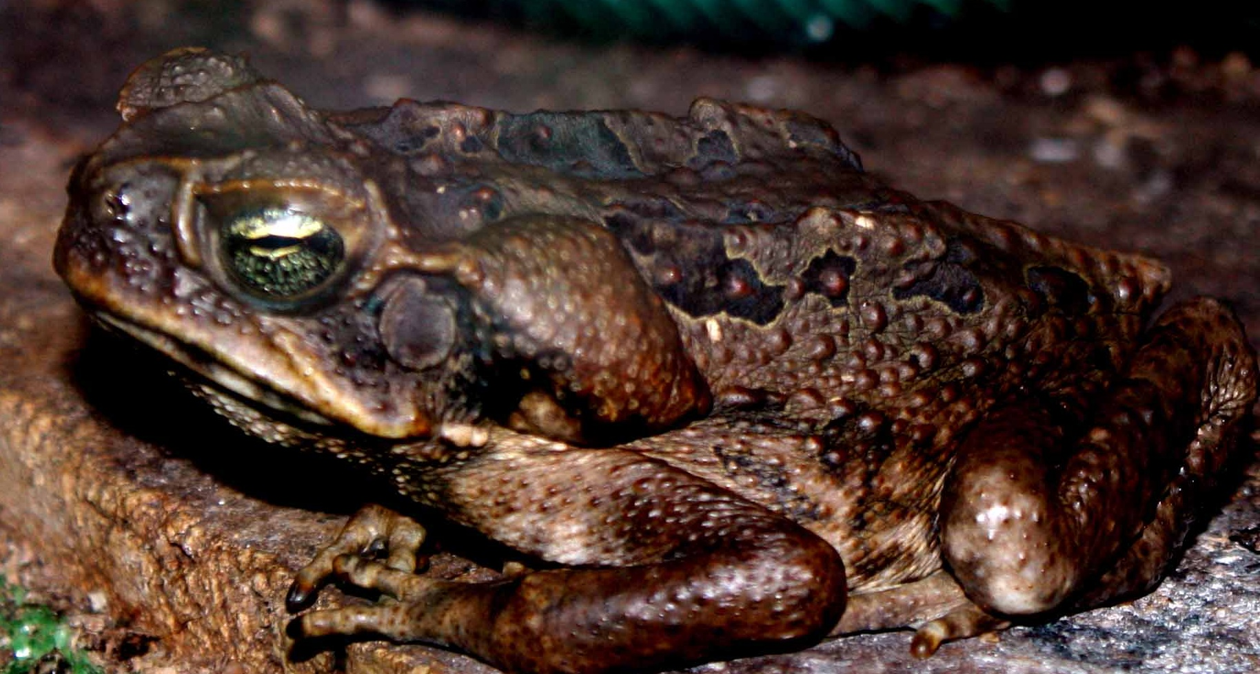 pictures of bufo toads