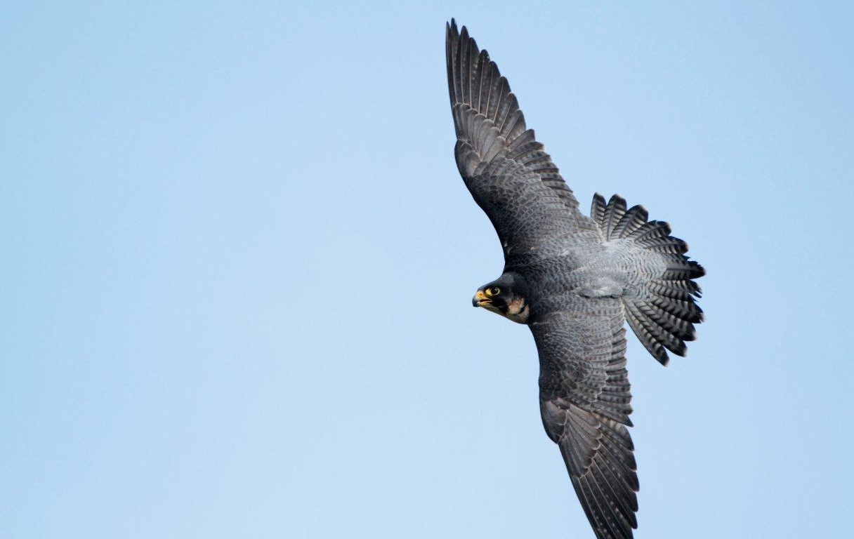 Peregrine falcon catching prey