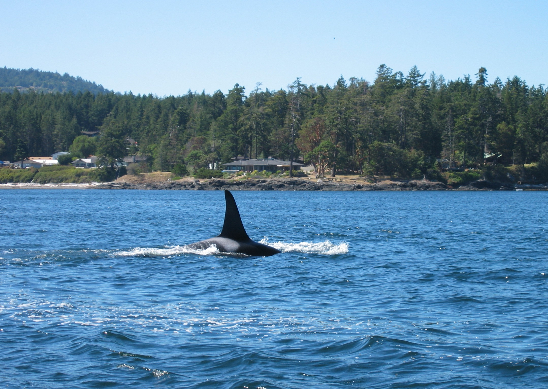 Description Killer Whale near Victoria BC.JPG